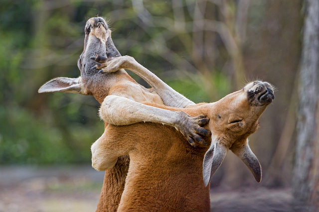 post_kangaroos_fighting